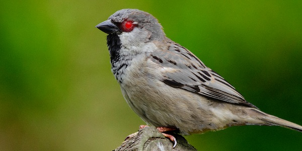 Silver Sparrow malware logo